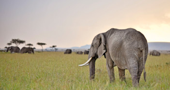 Elephants at twilight on the plains of Kenya's Masai Mara National Reserve. Yufang Gao, a young Chinese biologist, is exploring multi-disciplinary ways to counteract the poaching crisis ravaging the species.