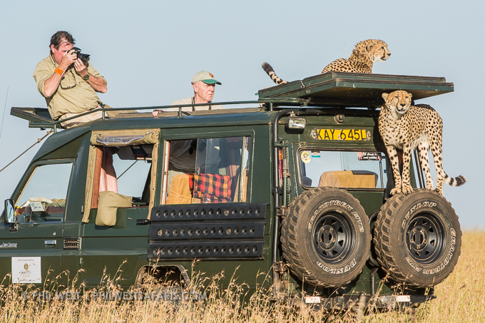 Cheetahs take advantage of the vehicle's height. © Daryl Balfour/ www.wildphotossafaris.com