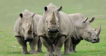 White rhino: © Ulga/iStock