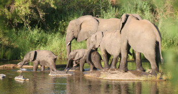 Kruger elephants - are they set to become a focus for poaching? © namibelephant/iSotock