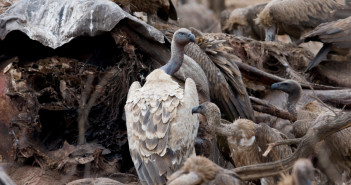 Vultures on elephant carcass © naturepixse/iStock