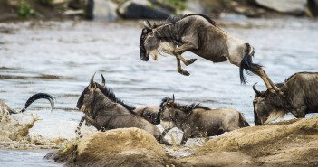 No turning back. Wildebeest migration river crossing. © Daryl and Sharna Balfour