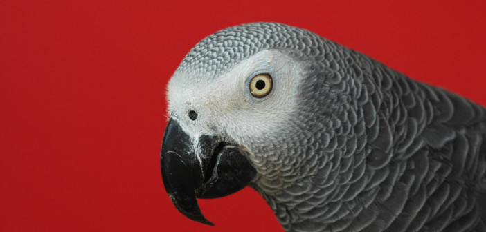 While the illegal trade in ivory and rhino horn justifiably get huge media attention. Countless other species such as the African Grey Parrot are under threat from dealers in contraband wildlife. © NNehring