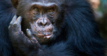 Portait of a Chimpansee © AndreAnita/iStock