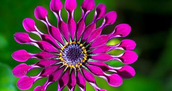 Wildflower in Kirstenbosch Gardens, Cape Town © David Rogers