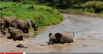 A very young elephant calf is almost swept downstream by a fast-moving current.