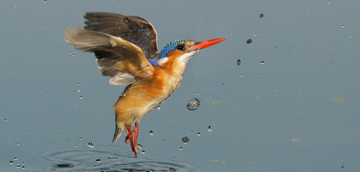 Somewhat unusually in the bird world, males and females are alike, and are monogamous. © Wim van den Heever