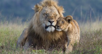 A male lion becomes the object of a cub's affection. Males may appear as if they are not always comfortable with close contact from youngsters, but they are typically tolerant. Image from Kariega Game Reserve in the Eastern Cape, SA.