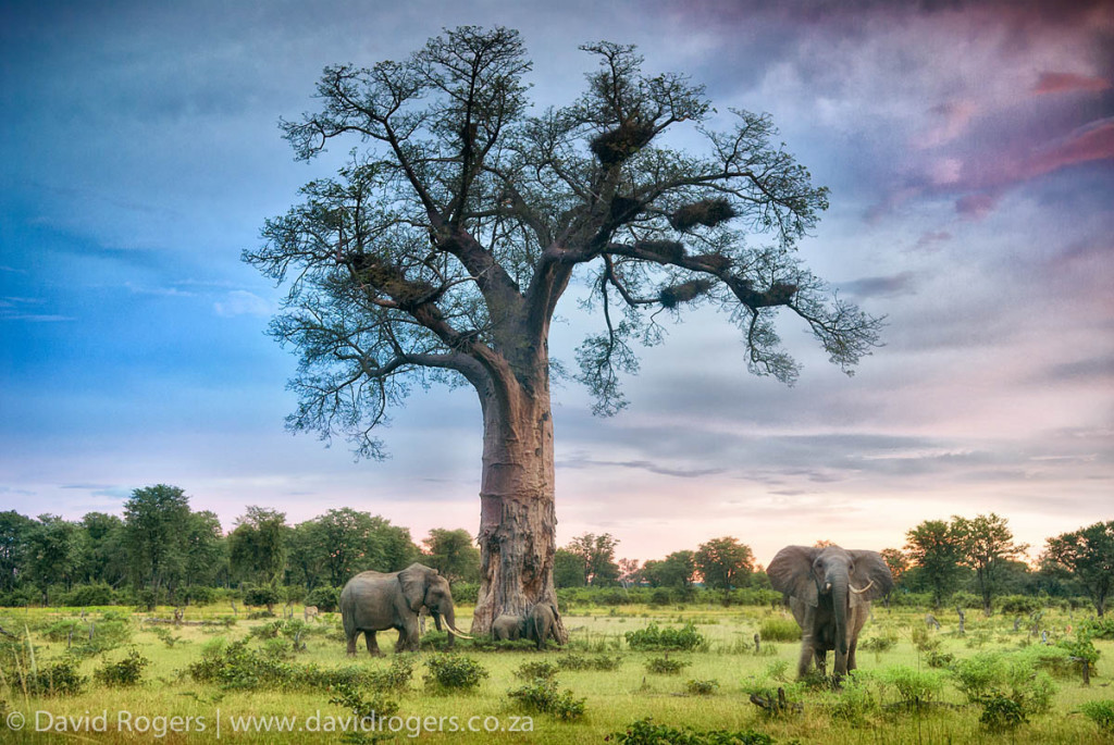 Ellies and baobab in South Luangwa, Zambia ¢ David Rogers