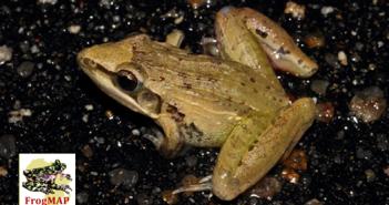 Plain Grass Frog or Anchieta's Ridged Frog (Ptychadena anchietae)