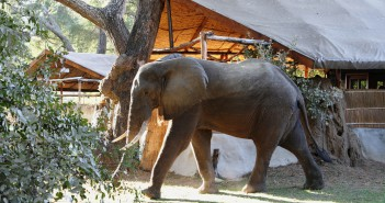 An elephant bull strolls casually through Chongwe River Camp, situated in the Lower Zambezi valley, Zambia.