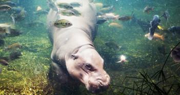 Hippo underwater copyright subin pumsom/Shutterstock
