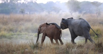 Her skin tinged red by the iron-rich soils of Lusaka, Kavalamanja (left) meets one of the resident orphans of Kafue National Park. Hesitant at first, the two calves from Lilayi Elephant Nursery were welcomed with outstretched trunks and intense curiosity from the resident herd of orphans.
