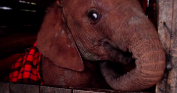 Elephant orphan at DSWT