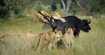 The buffalo made it out alive, despite these lionesses best efforts. © Wim van den Heever/www.odpsafaris.com