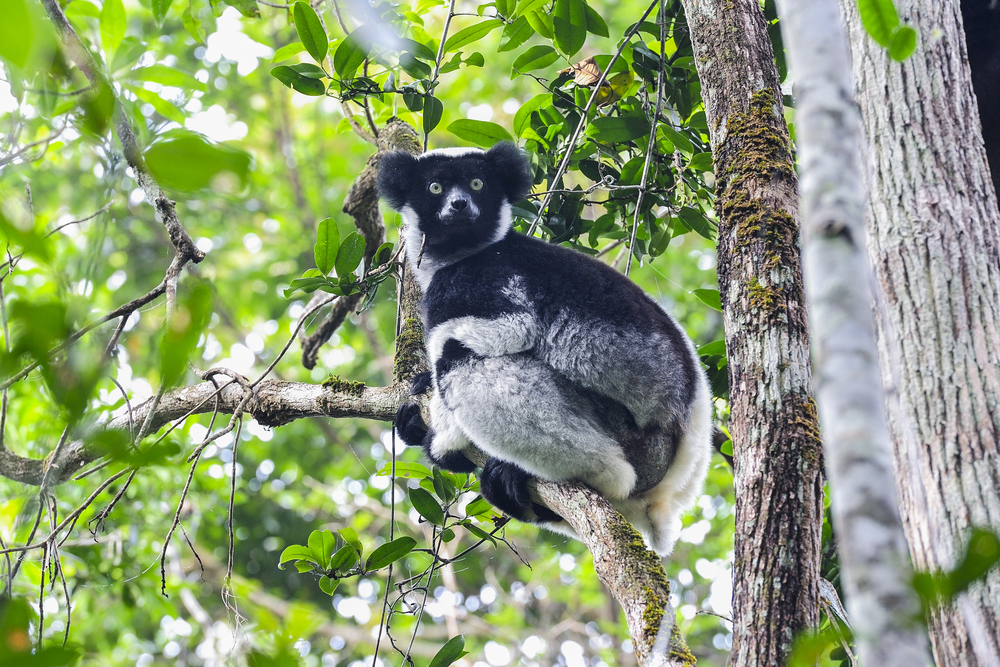 Indri, largest of all the Lemurs, Madagascar. © Arto Hakola/Shutterstock