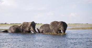 Elephants crossing the Chobe River in Botswana. © Caroline Vancoillie/Shutterstock
