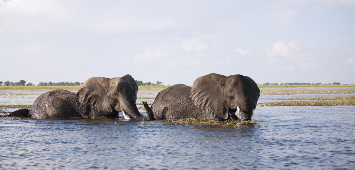 Elephants crossing the Chobe  River in Botswana. © Caroline Vancoillie/Shutterstock