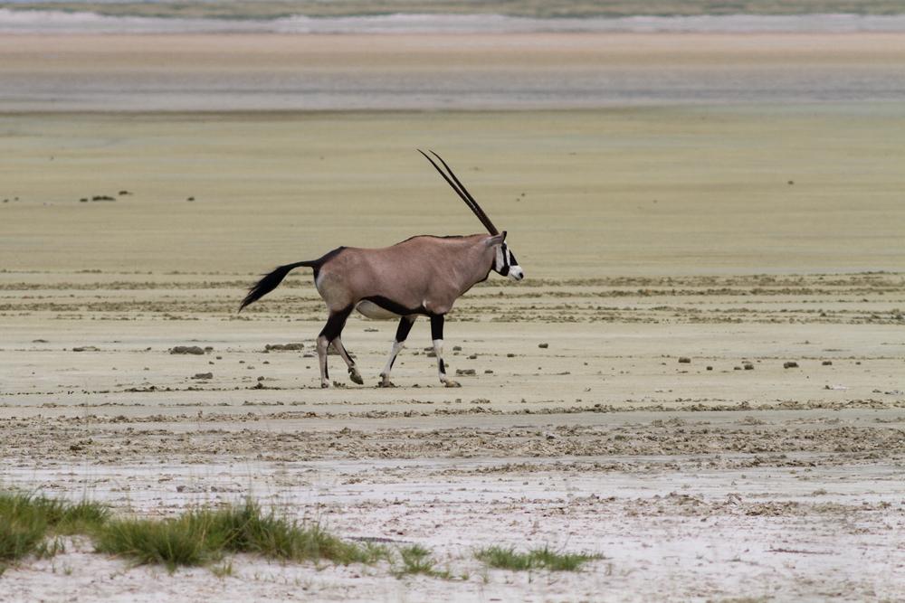 Lone Gemsbok in Etosha Pan, Namibia. © Circumnavigation/Shuttershock