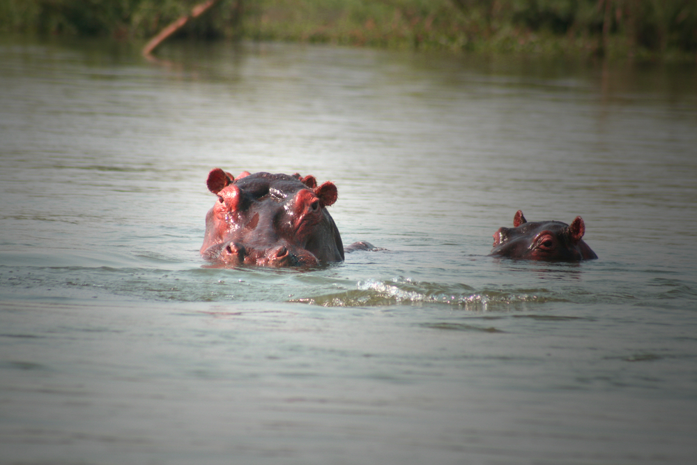 Hippos in the Shire River, Malawi. ©Dennis Albert Richardson/Shuttershock