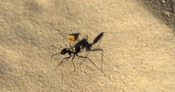 Sahara Desert ant © Chris Hower