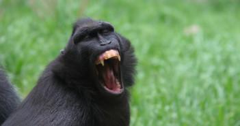 Black crested macaque © John_Brueske/istock