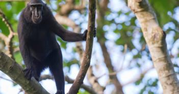 Black crested macaque © Andrea Izzotti/iStock