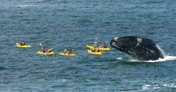 Southern right whale breaching over kayaks (Dave de Beer)
