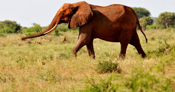 Dallas Safari Club announced that a hunting package including an elephant kill would be withdrawn from its gala auction. Copyright IFAW