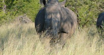 White rhino. Wikicommons/ Lorraine R