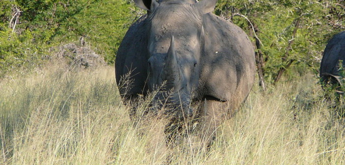 Rhino poaching – no room for complacency in the face of debatable statistics