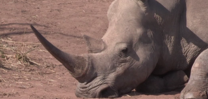 legalising the trade in Rhino Horn, and the dire effects that this could have on the survival of the species.