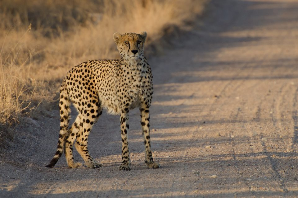 A cheetah stares down an approaching game viewing vehicle. © Mjejane