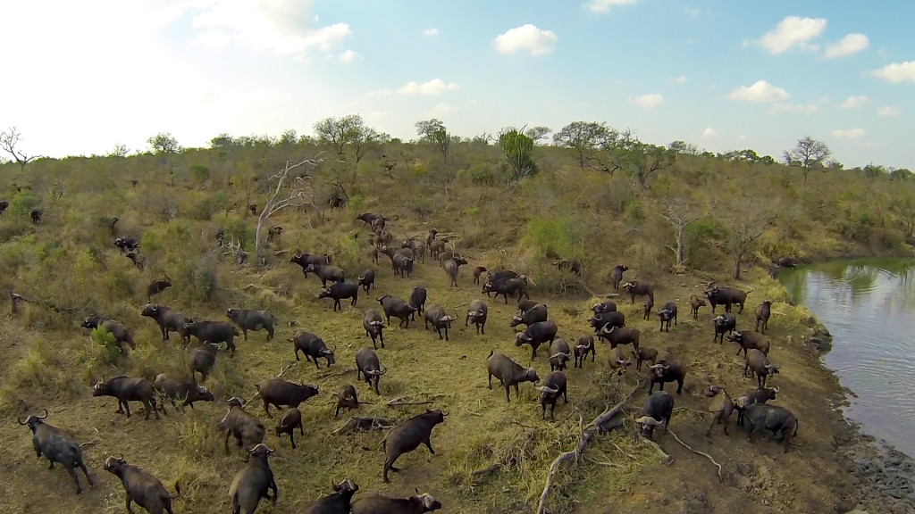 A buffalo herd mills about on the banks of the Crocodile River, the now unfenced and common border with Kruger National Park. © Mjejane