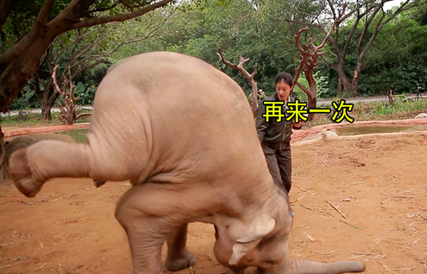 An elephant is made to perform in another zoo. © IFAW