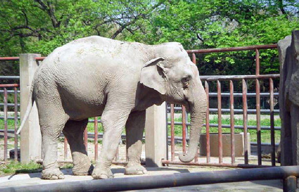 A lone elephant stands on concrete in a zoo. © IFAW