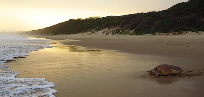 Turtle at Thonga Beach. Copyright Roger and Pat de la Harpe.
