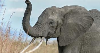 African elephant. Photograph by Muhammad Mahdi Karim / Wikimedia