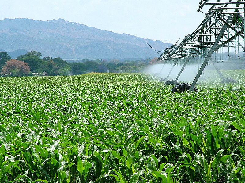 Growing maize under irrigation. Nearly two thirds (63%) of all South Africa's freshwater resources are currently being used by irrigated agriculture.Photograph by Lotus Head / Wikimedia Commons