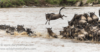 Wildebeest crossing the Mara © Daryl Balfour/ www.wildphotossafaris.com