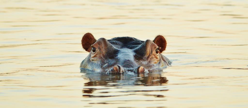 Hippo © Stefanie Botha