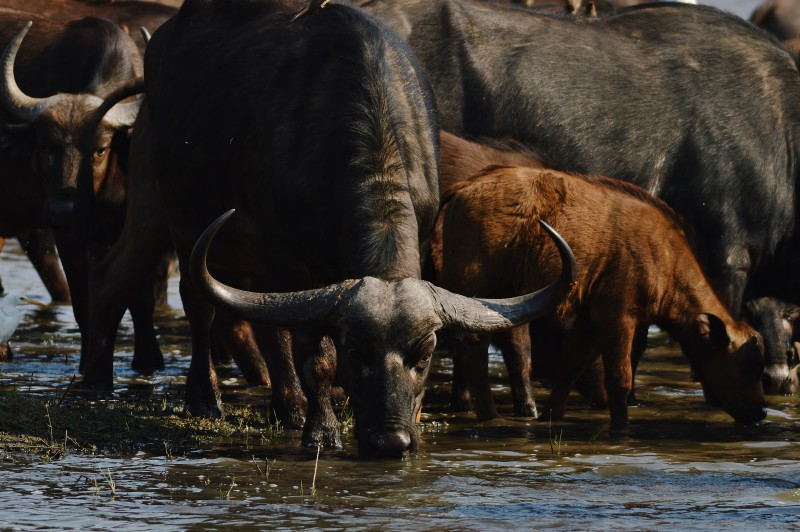 Buffalo herd drinking from the Crocodile River © Stefanie Botha