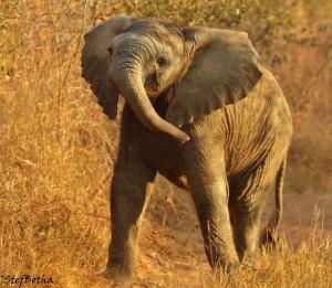 Young elephant © Stefanie Botha