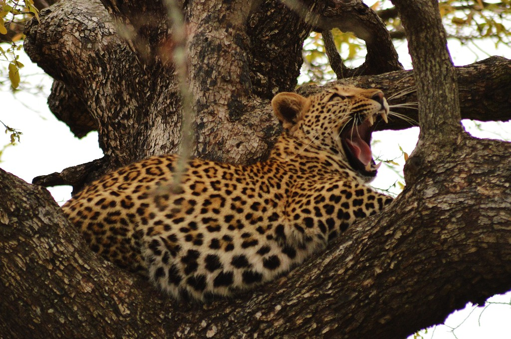 Leopard © Stefanie Botha