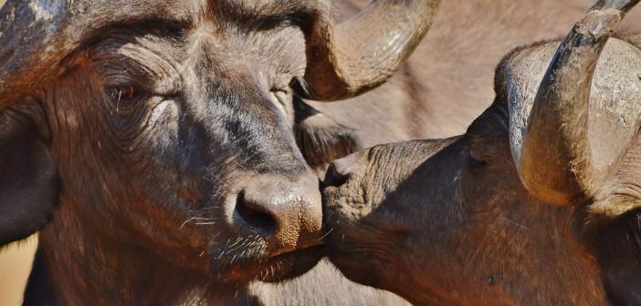 Buffalo © Stef Botha