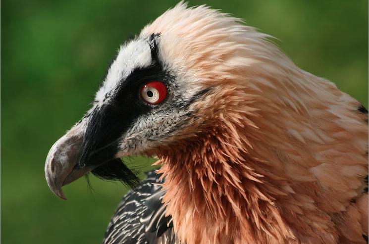 bearded vulture - photo #34