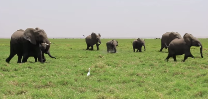 Amboseli's OA family rush to greet a new arrival. Screen shot by Dr Vicki Fishlock IFAW