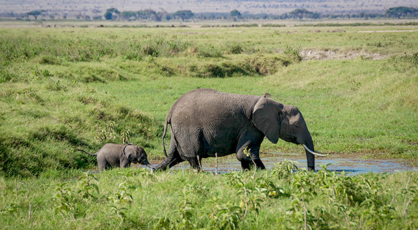 Elephants are a keystone species, maintaining the balance of all other species in the ecosystem. Photograph copyright IFAW