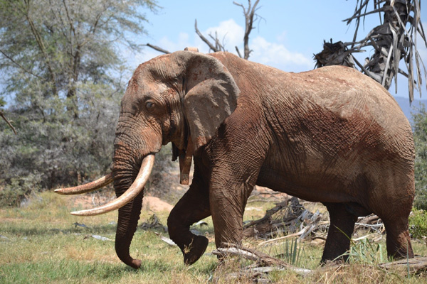 Elephant fitted with RTM-enabled GPS collar (photo credit G. Wittemyer)