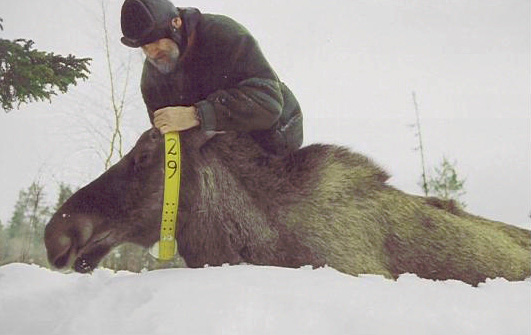Figure 3. Not just elephants: a researcher from the Swedish University of Agricultural Sciences deploying a GPS/GSM RTM-enabled collar on a moose in northern Sweden. Photo credit: E. Andersson.